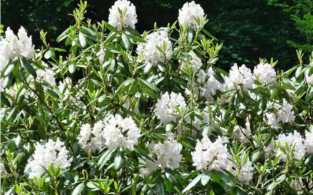 plant_rhododendrum