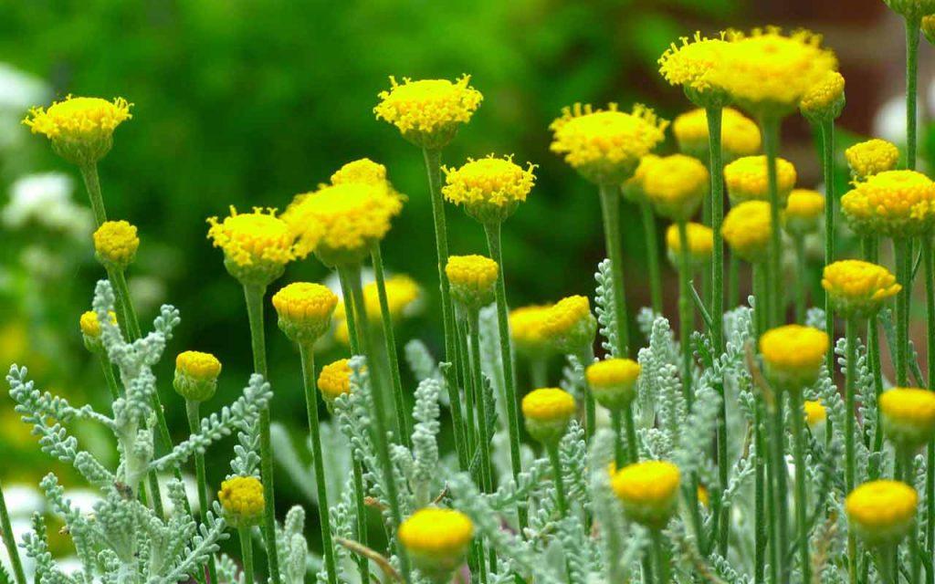 plant_santalino