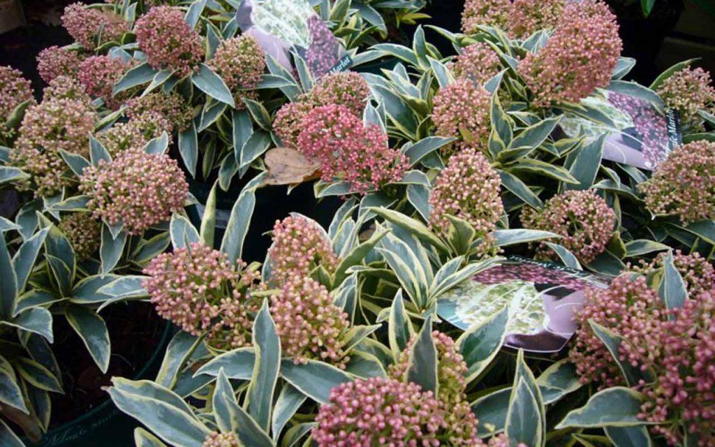 plant_skimmia